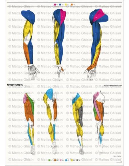 OsteoPoster Miotomi Braccia e Gambe Verticale