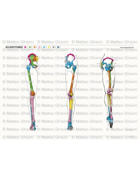 OsteoPoster Sclerotomi Gambe