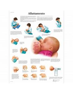 3B Scientific, tavola anatomica, Allattamento (cod, VR4557UU )