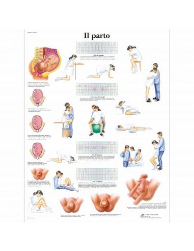3B Scientific, tavola anatomica, Il...