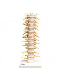 3B Scientific, modelli anatomico di colonna vertebrale toracica A73