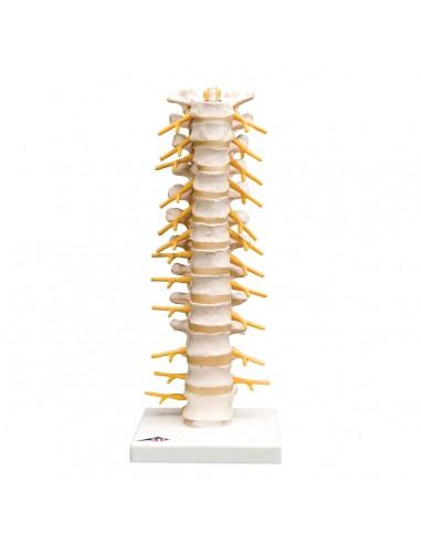 3B Scientific, modelli anatomico di...