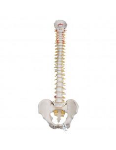 3B Scientific, Colonna vertebrale flessibile molto robusta A59/1