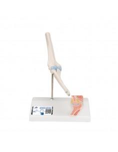 3B Scientific, modello anatomico di mini articolazione del gomito, senza base A87
