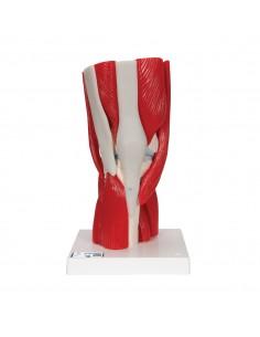 3B Scientific, Articolazione del ginocchio, scomponibile in 12 parti A882