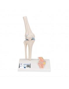 3B Scientific, modello anatomico di mini articolazione del ginocchio, senza base A85