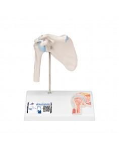 3B Scientific, modello anatomico di mini articolazione della spalla, senza base A86