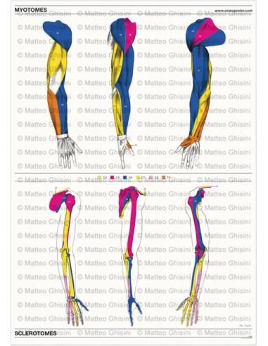 Osteoposter - Miotomi e Sclerotomi...