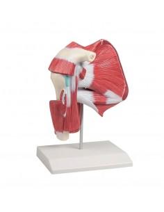 Articolazione della spalla con muscoli profondi Erler Zimmer 4569