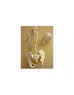 Offerta Tris Ossa 3B Scientific: Cranio A290, Colonna A58/1, Piede A31/1R