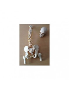Offerta Ossa 3B Scientific: Cranio A290, Colonna A58/2
