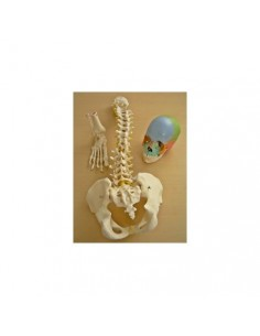 Offerta Tris Ossa 3B Scientific: Cranio A291, Colonna A58/1, Piede A31/1R